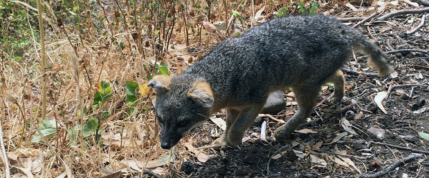 Island Fox on Santa Cruz island