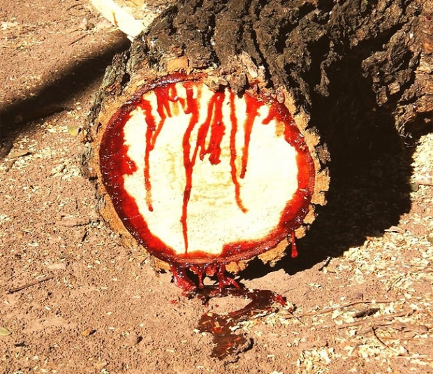 Pterocarpus angolensis—the bloodwood, bleeding