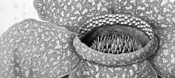 Garden of Horrors: Rafflesia