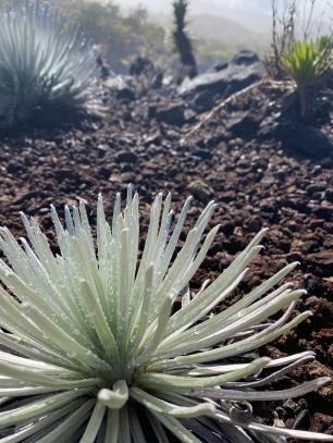 Haleakala Silverswords